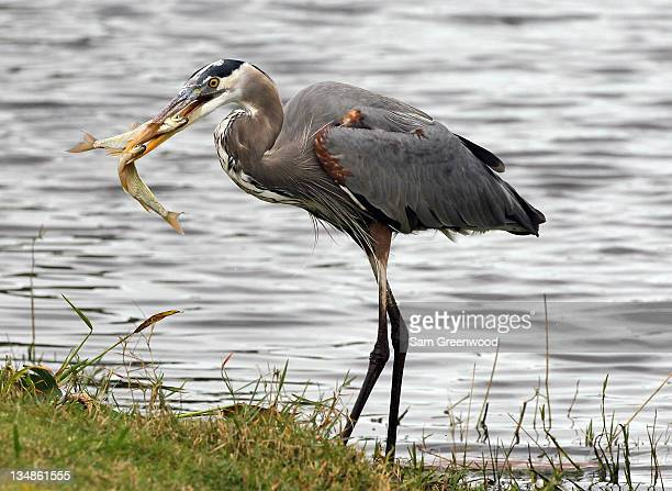 Great Blue Heron as seen with two fish in its beak during the final round of the LPGA Qualifying School at LPGA International on December 4 2011 in...