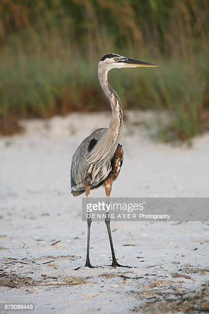 Great blue heron at beach for sunset