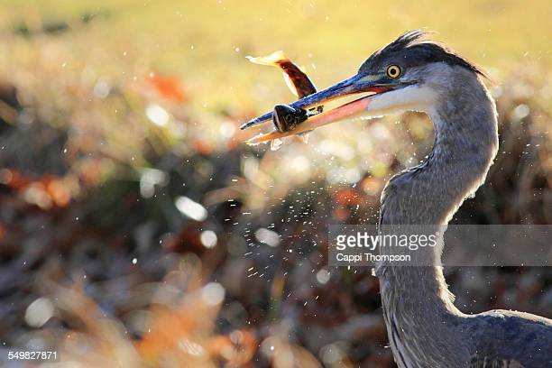 Great Blue Heron feeding action