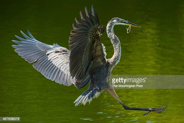 Great Blue Heron flies back to shore after plucking a fish from the water at Culler Lake in Baker Park on September 2 2013 in Frederick Md