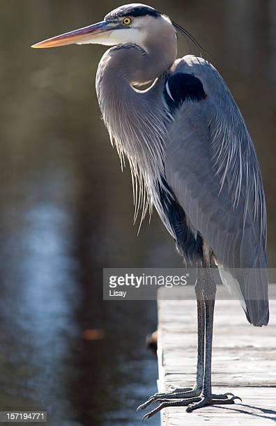 Great Blue Heron - full body