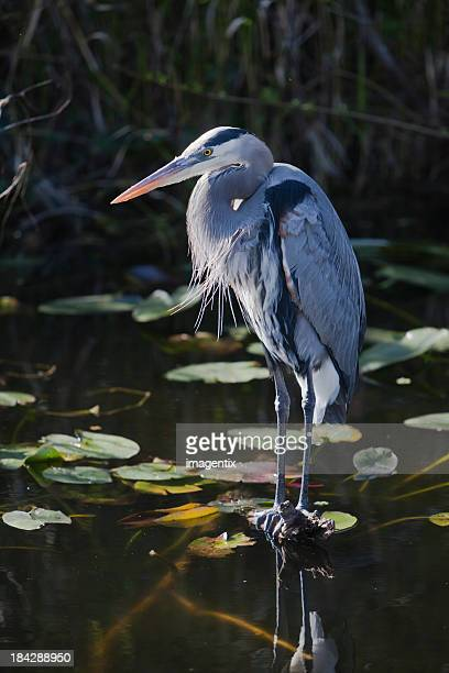 Great blue heron in a lily pond