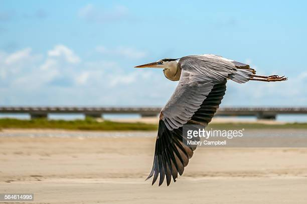 Great Blue Heron In Flight Over A Galveston Beach