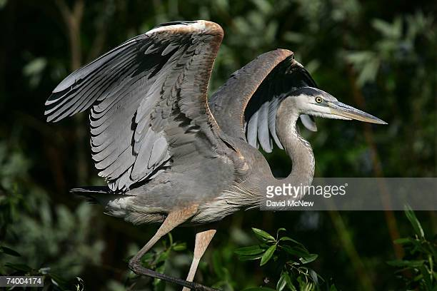 A great blue heron lands above the San Gabriel River where the mosquitoes that can carry West Nile Virus are believed to have bred in previous...