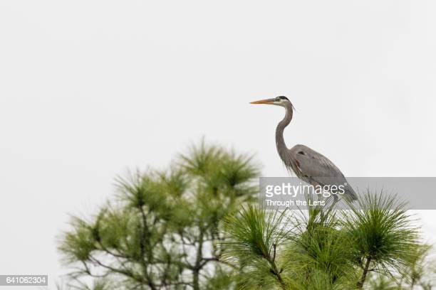Great Blue Heron on a Tree