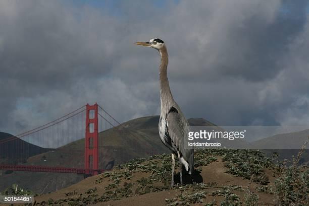 Great Blue Heron on the dune/Golden Gate Bridge