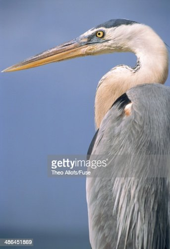 Great blue heron : Stock Photo