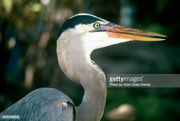 Great Blue Heron (Galapagos Islands)