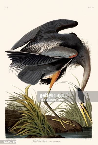 Great Blue Heron Plate 211 in John James Audubon's Birds of America late 1830s