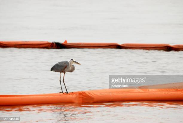 Great Blue Heron Sitting on Oil Boom