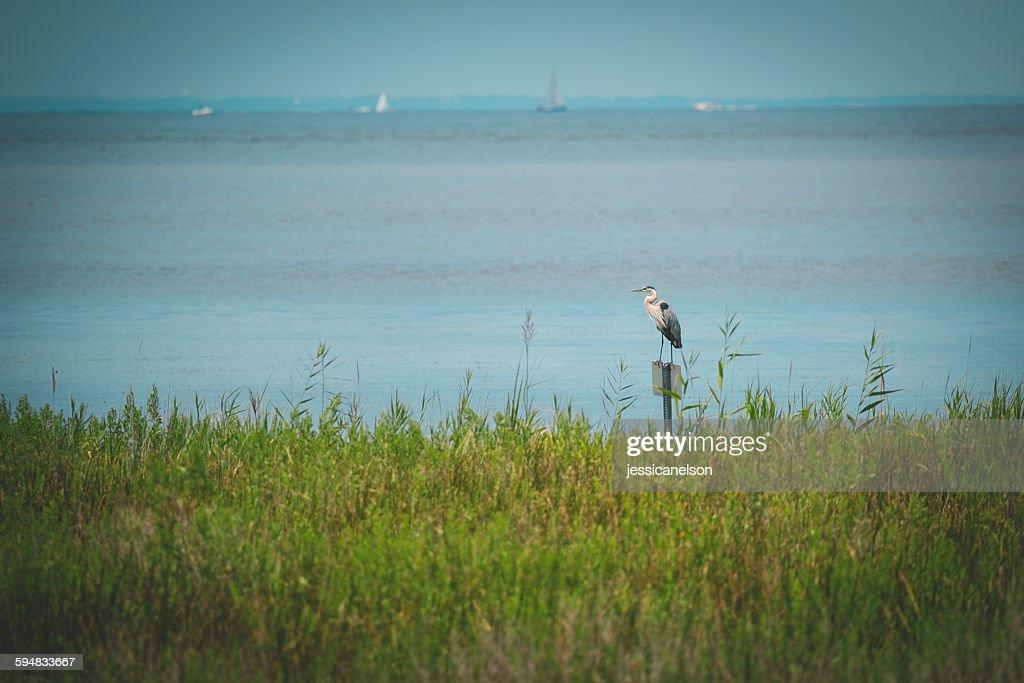 Great blue heron standing by sea (Ardea herodias), Chesapeake Bay, Maryland, USA