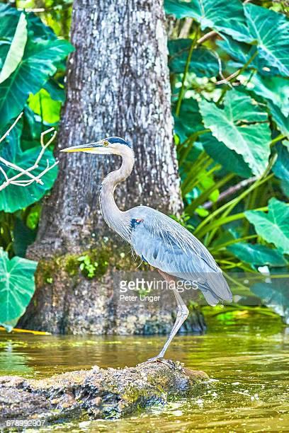Great Blue Heron,Lousiana