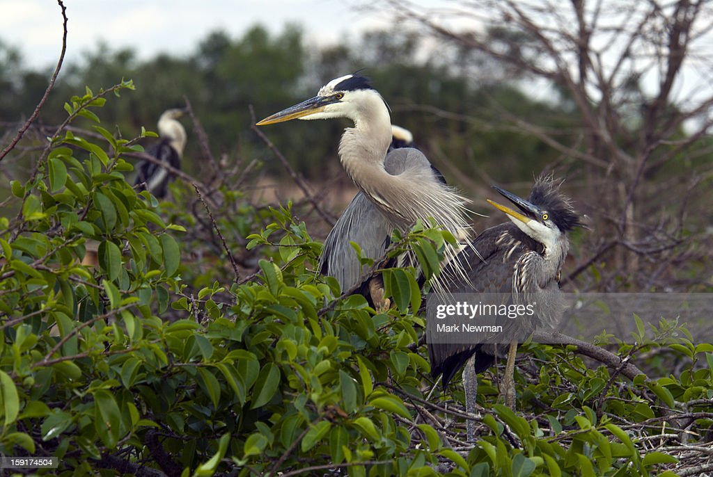 Great Blue Herons mother and baby : Stock Photo