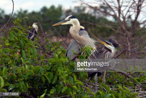 Great Blue Herons mother and baby : Bildbanksbilder