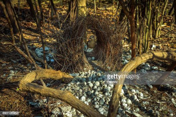 Great Bowerbird and bower