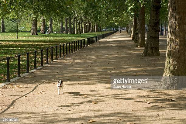 Great Britain, England, London, South kensington, Hyde Park, small Dog standing in the sun on tree-lined path .