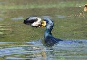 Great Cormorant catfish kill