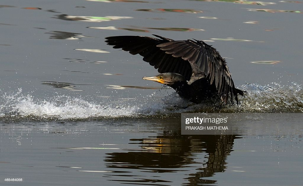 A great cormorant lands on Taudaha Lake on the outskirts of Kathmandu on March 7 2015 The great cormorant is a member of the cormorant family of...