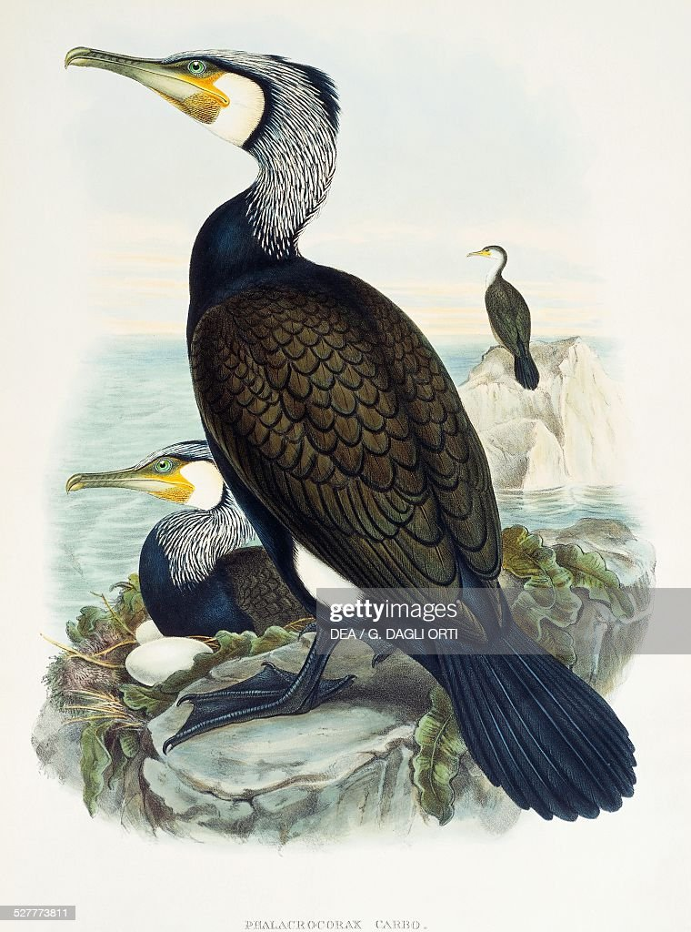 Great Cormorant lithograph from the Birds of Great Britain 18631873 by John Gould with drawings and lithographs by William Matthew Hart and Henry...