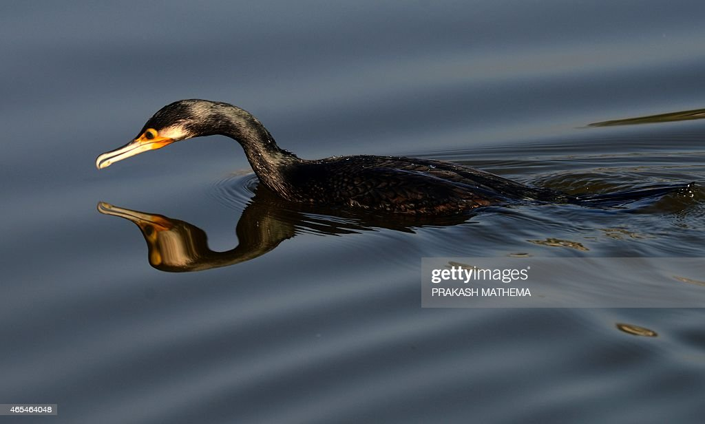 A great cormorant swims on Taudaha Lake on the outskirts of Kathmandu on March 7 2015 The great cormorant is a member of the cormorant family of...