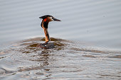 A great crested grebe -Podiceps cristatus- swimming in the Dender River, around sunset. East Flanders, Belgium.