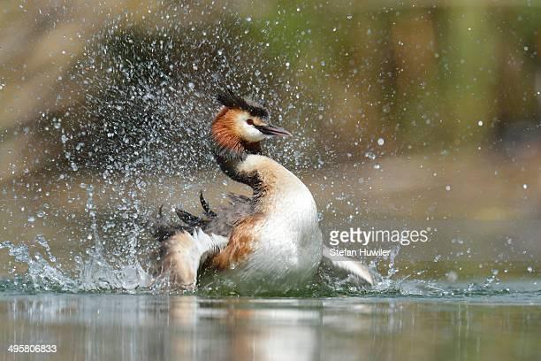 Great Crested Grebe -Podiceps cristatus-, preening, Lake Lucerne, Luzern, Canton of Lucerne, Switzerland