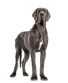 Great Dane, 10 months old, in front of white background