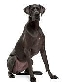 Great Dane, 15 months old, sitting in front of white background