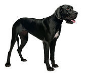Great Dane, 15 months old, standing in front of white background