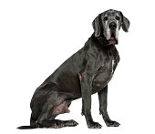 Great Dane, 6 years old, sitting in front of white background