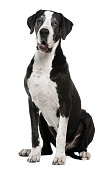 Great Dane, 7 years old, sitting in front of white background