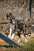 The Great Dane is a large German breed of domestic dog (Canis lupus familiaris) known for its enormous body and great height.