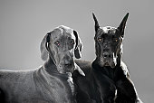 Two Great Danes looking at viewer.  One with cropped ears and one with natural.