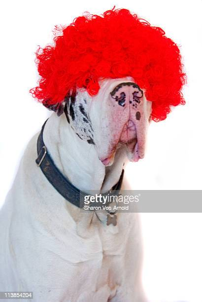 Great dane dog wearing a red curly wig