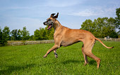Great Dane on hind legs moving to left side of field in mid run