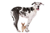 Great Dane HARLEQUIN and a chihuahua in front of a white background