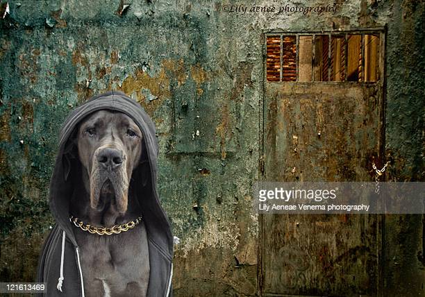 Great dane in hooded sweater