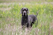 Deutsche Dogge in Action