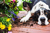 Great Dane knocking over planter on deck