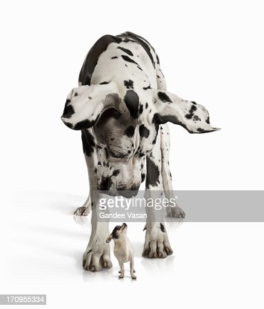 Great Dane looking down at Chihuahua : Stock Photo