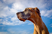 Great Dane looking powerful against blue sky