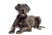 Great Dane lying down (8 months old)
