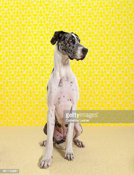 Great Dane on Carpet and Wallpaper