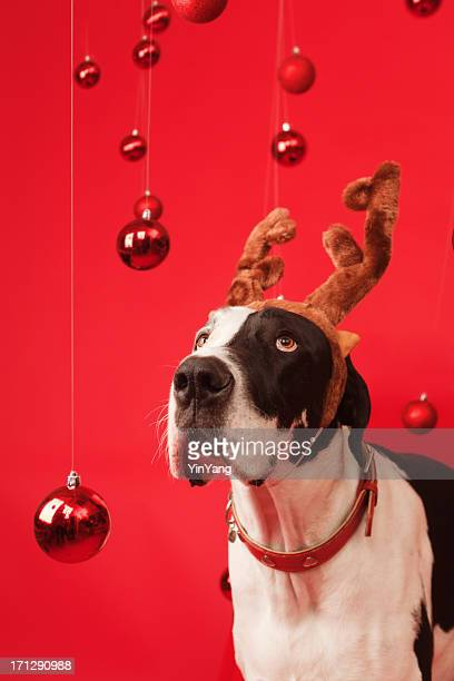 Great Dane Pet Dog with Elk Antler and Christmas Background
