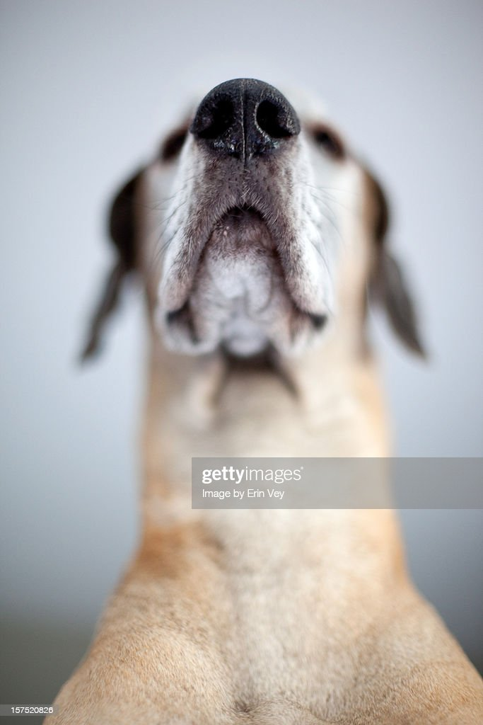 Great Dane : Stock Photo