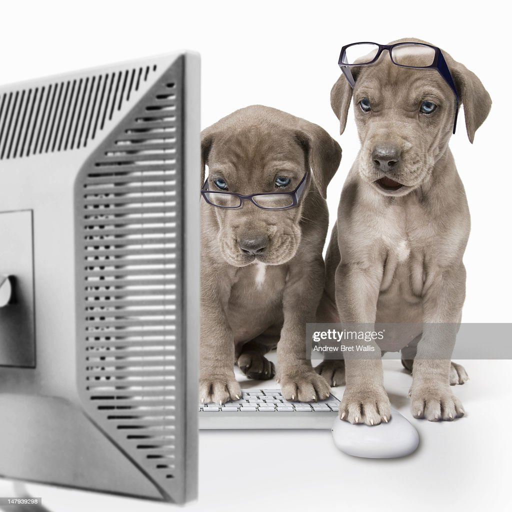 Great Dane puppies using a desktop computer : Stock Photo