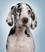 Great Dane puppy, 6 months old, in front of blue background