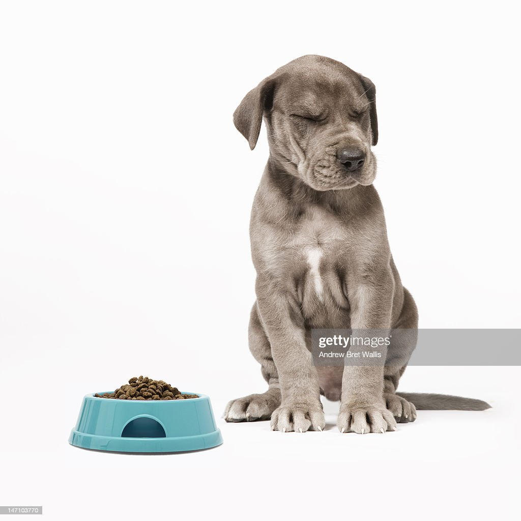 Great Dane puppy turns his nose up at his food : Stock Photo