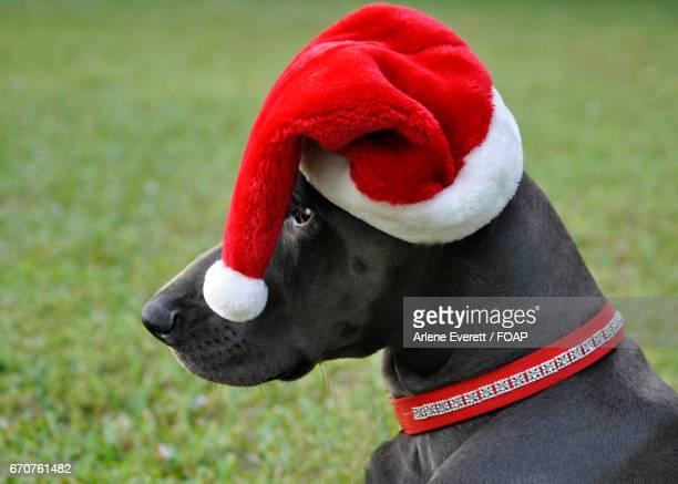 Great dane wearing a santa hat