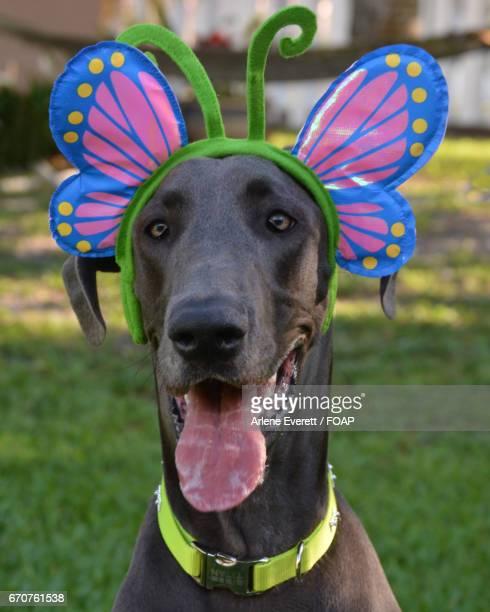 Great dane wearing butterfly headwear